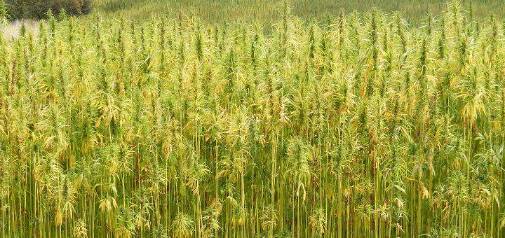 hemp-marijuana crop