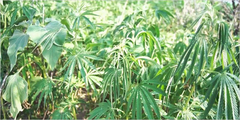 Cannabis-Ruderalis-2